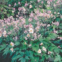 Anemone tomentosa 'Robustissima';This is the easiest to grow, and hardiest of all the fall-blooming Anemone, with a vigorous, spreading habit and reliable late-summer display. Plants form a low mound of grape-like green leaves, with taller branching stems of soft-pink cup-shaped flowers. Divide in spring every couple of years to maintain control. Loves a rich, moist site. The fluffy seedheads have interesting winter effect.