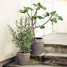The fig tree - trendier than ever