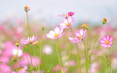 Pink Cosmos Wallpaper, http://wallpapers.ae/pink-cosmos-wallpaper.html
