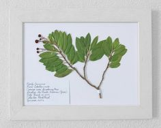 Real pressed botanical herbarium specimen. Professional, artistic presentation of Arbutus unedo (strawberry tree) which were found in its natural