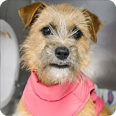 Vallejo, CA - Terrier (Unknown Type, Small) Mix. Meet Spice, a dog for adoption. http://www.adoptapet.com/pet/17489614-vallejo-california-terrier-unknown-type-small-mix