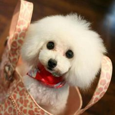 Love that face!  from My Toy Poodle on FB