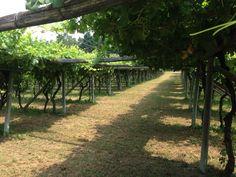 Yes In Italy ti propone la festa di nozze sotto la vigna . Yes In Italy proposes the WINE party under the grapevine .