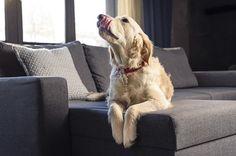 Animais de estimação em casa é sinônimo de muitos pelos soltos no sofá, almofadas e até tapetes