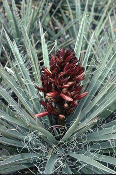 'Hualampai Blue' yucca (Yucca baccata var. vespertina 'Hualampai Blue')