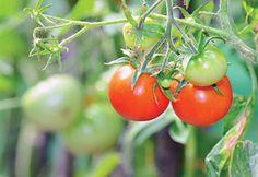 agrotikanew : Άνοιξε ο καιρός και έφερε καλές τιμές στην ντομάτα...