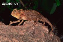 Antsingy leaf chameleon