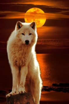 The first posting to my Lobos board. What a beautiful wolf to begin with. Wolf Love, Arktischer Wolf, Lone Wolf, Artwork Lobo, Wolf Artwork, Wolf Photos, Wolf Pictures, Beautiful Wolves, Animals Beautiful