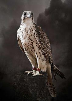 Tariq Dajani, Saker Hunting Falcon I, 2010 / 2010 © www.lumas.com #lumas