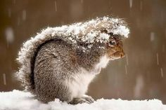 Squirrels use tails as an umbrella to protect from snow.