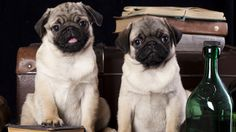 pug dog mops picture