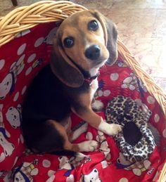 Beagle (Birba)  ..ridammi la mia ciabatta !!