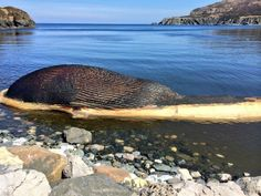 view of the dead blue whale washed up on shore in Trout River, Newfoundland