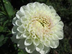White Nettie | New Day Garden