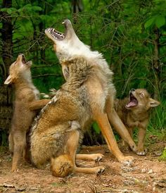 Mother wolf teaching baby wolves to howl