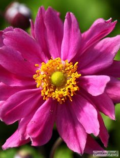 Anemone Pretty Lady Emily Perennial For Sale Online. Anemone Pretty Lady Emily available to order today Anemones, Fall Flowers, Looking Stunning, Pretty Woman, Perennials, Nursery, Yard, Plants, Beauty