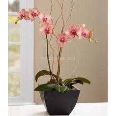 Orquídea Oriana