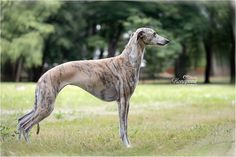 Whippet kennel, puppies offer, we expect the litter in September, the father of a junior world champion in 2015 WDS MILANO. Amazing colors, fawn or brindle. Line connection to the legendary dog ADAGIO LOVE SUPREME. Information by e-mail.