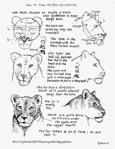 How to Draw Worksheets for The Young Artist: How To Draw A Female Lioness Face Worksheet