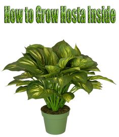 How to Grow Hosta Inside. Hosta is beautiful, shade-tolerant plant with green, waxy leaves and a wide variety of foliage colors. Hosta grown in containers.. #plants
