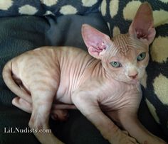 Tiger striped Sphynx kitten with green eyes.