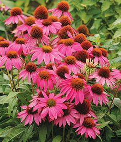 Echinacea, 'PowWow Wild Berry' (Burpee: seeds, perennial). I already have one plant that I bought mid-summer 2011--a hardy, dwarf coneflower with nice, bright blooms.