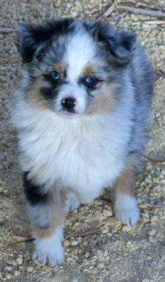 Toy Australian Shepherd Poodle Dogs Puppies For Sale Miniature Australian Shepherds Poodles