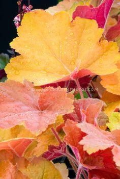 Heuchera Southern Comfort perennial foliage plant Theme 1 for coral bells