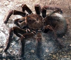 Biggest+Spider+in+the+World | the goliath kite eating tarantula is inbred to the precipitation ...