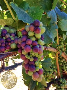 #Beautiful #veraison in #NapaValley. Get up close to the vineyards on the Napa Valley Wine Train's winery trip packages.
