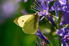 Free Image on Pixabay - Cabbage White, Butterfly, Insect Free Pictures, Free Images, White Butterfly, Beautiful Butterflies, Moth, Amber, Insects, Creatures, Animals