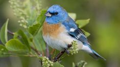 nature-birds-nature-birds-leaves-plants-macro-depth-of-field-lazuli.jpg (800×450)