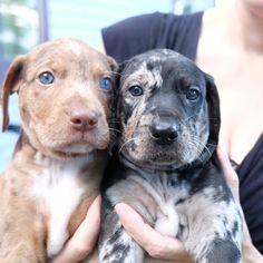 Bilbo and Bree, Shooting Star Catahoulas Dachshund Puppies, Cute Puppies, Cute Dogs, Dogs And Puppies, Doggies, Dog Breeds List, Large Dog Breeds, Catahoula Cur, Leopard Dog