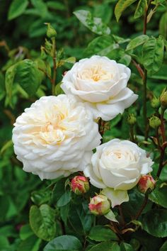Beautiful David Austin rose, starts with a pale yellow bud that opens into a pure white, cupped rosette. Roses David Austin, David Austin Rosen, Claire Austin, Fragrant Roses, Shrub Roses, Thornless Roses, Love Rose, Pretty Flowers, White Flowers