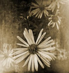 I like the simplicity of these daisies. These are Michaelmas Daisies manipulated in Photoshop with texture layers and gradient fill and then converted to sepia for a fading vintage   feel. Texture layers: Old Paper by Ghostbones and Mausoleum Door Texture by Amy Higgins.