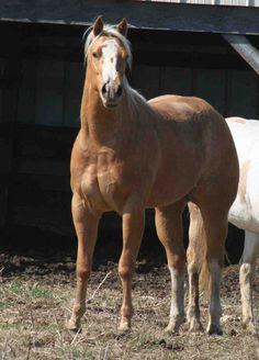 Horses wcha in aqha
