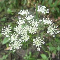 Check out the deal on Ammi Majus Bishops Flower seeds at Hazzard's Seeds Perennial Vegetables, Seasonal Flowers, Ornamental Grasses, Planting Seeds, Perennials, Herbs, Garden, Plants, Late Summer