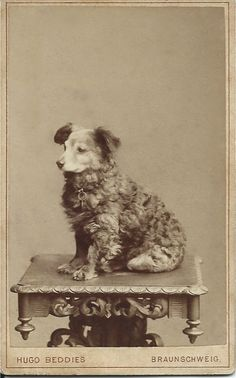 c.1890 cdv of little curly-coated dog sitting on carved wooden table. Photo by Hugo Beddies, 4 Hagenmarket, Braunschweig, Germany. From bendale collection