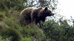 Muere un oso pardo en Asturias a causa de un disparo  ... - http://www.vistoenlosperiodicos.com/muere-un-oso-pardo-en-asturias-a-causa-de-un-disparo/