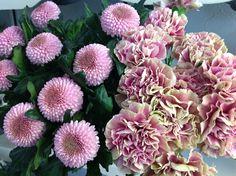 Dianthus - Chrysanthemum