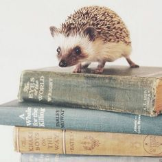 Bookish Hedgehog a book hog! Super Cute Animals, Cute Baby Animals, Animals And Pets, Funny Animals, Woodland Creatures, Cute Creatures, Beautiful Creatures, Animals Beautiful, Happy Hedgehog