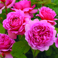 David Austin English rose Princess Alexander of Kent.Large, fully double, full petalled and deeply cupped blooms of glowing pink. Delicious tea fragrance changing to lemon with age.