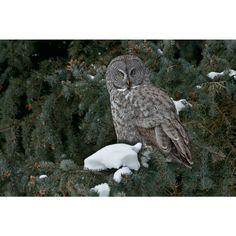 Winter's Perch - Great Gray Owl - $245.00