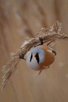 Bearded Reedling V | by Ville Airo