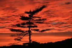 Sunset Pine by Donald Frisque
