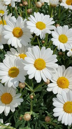 Cosy Refugium - My site Sunflowers And Daisies, All Flowers, Pretty Flowers, White Flowers, Exotic Flowers, Cute Wallpaper Backgrounds, Pretty Wallpapers, Red Rose Flower, My Flower