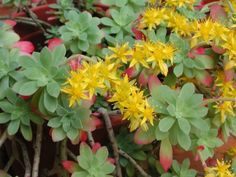 Sedum palmeri (Palmer's Sedum) is an attractive succulent subshrub that forms rosettes of pale green leaves at the ends of flexuous stems. Backyard Shade, Shade Garden, Cactus, Echeveria, Small Plants, Air Plants, Planting Succulents, Planting Flowers, Bathroom Plants