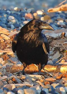 "Gorgeous Photo of Raven. ""Raven at Sundown"" by Carl Olsen Raven Art, Crow Art, Bird Art, The Crow, Animal Espiritual, Animal Original, Rabe Tattoo, Quoth The Raven, Jackdaw"