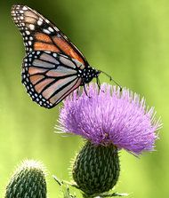 Monarch Migration Plunges to Lowest Level in Decades - NYTimes.com