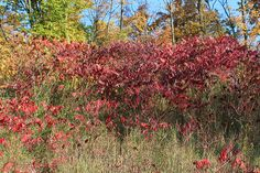 Flickriver: Most interesting photos tagged with Sumac   taxonomy:family ...